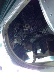 Lotta Chihuahua 1