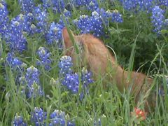 Cat and bluebonnets